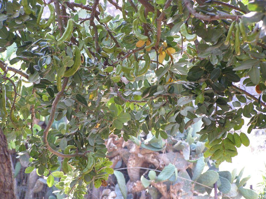 פירות החרוב