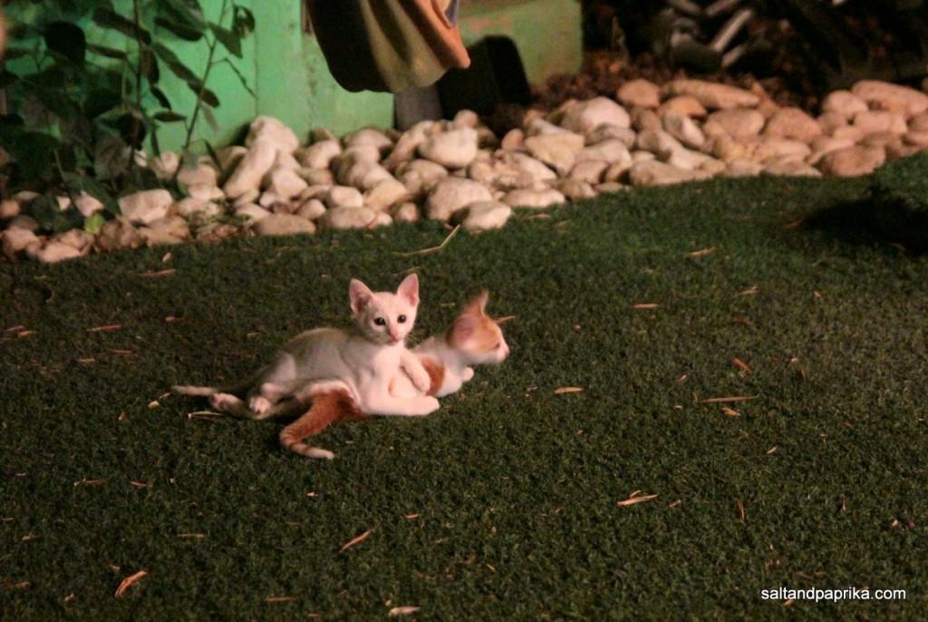 חתולים על דשא סינטטי